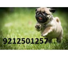 Small Dog ( PUG ) For Sale in Testify Pet Shop
