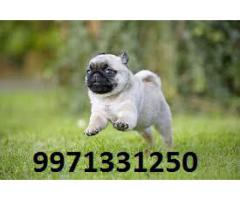 Toy Small Pups ( PUG ) for sale in Testify Pet Shop