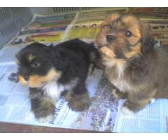 Top Quality Pure Quality Lhasa Apso at Best Price Range Male & Female