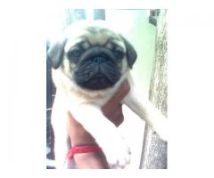 HIGH BREED PUG PUPPIES BEST PRICE IN DELHI NCR WITH VET PAPER