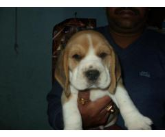 HIGH BREED BEAGLE PUPPIES BEST PRICE IN DELHI NCR WITH VET PAPER