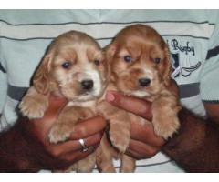 HIGH BREED COCKER SPANIEL PUPPIES BEST PRICE IN DELHI NCR WITH VET PAPER