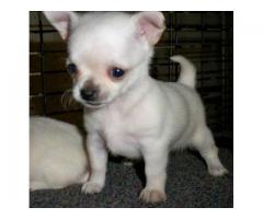 HIGH BREED CHIHUAHUA PUPPIES BEST PRICE IN DELHI NCR WITH VET PAPER