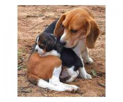 Beagle Pups Ready Now For Sale