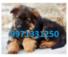 Dog Hing Quality Guard Dog ( GERMAN SHEPHERD ) male & female for sale 9971331250