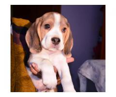 The Perfect Quality male and female Beagle puppies available for sale
