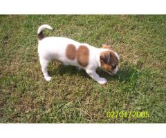 The Perfect Quality male and female Chihuahua puppies available for sale