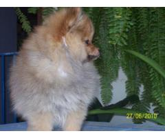 The Perfect Quality male and female Pomeranians puppies available for sale