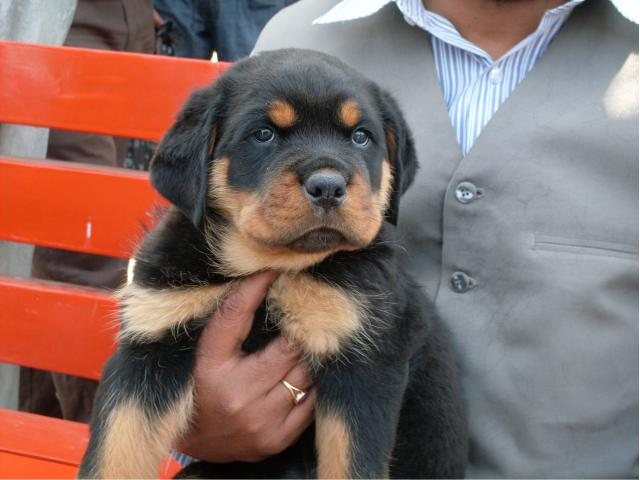 The Perfect Quality male and female Rottweiler puppies available for sale