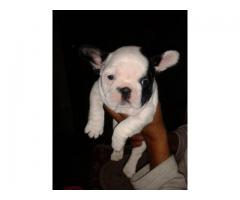 The Perfect Quality male and female French Bulldog puppies available for sale