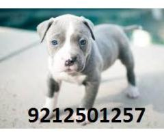 High Quality Guard Dog ( PITBULL ) for sale in Testify Pet Shop