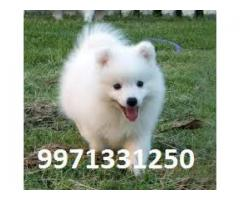 Pure White ( German Spitz ) For male & Female Pups for sale in Testify Pet Shop