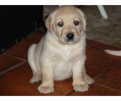 Top Lineage Breed Labrador Puppies Available in Delhi Ncr
