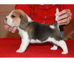 Top Lineage Breed Beagle Puppies Available in Delhi Ncr at Best Price Range