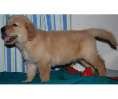 Top Lineage Breed Golden Retriever Puppies Available in Delhi Ncr at Best Price Range
