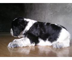 Top Lineage Breed Cocker Puppies Available in Delhi Ncr at Best Price Range