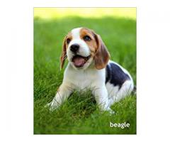 begale puppies for sale in indore 8982569583