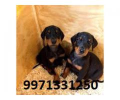 Doberman Pups for sale in Delhi Testify Pet Shop 9971331250