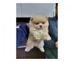 Outstanding Quality POMERANIAN | Toy Pom Puppies At HARRY PET SHOP LUDHIANA PUNJAB