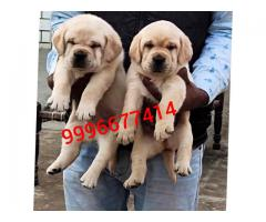 Show quality labrador puppy Available