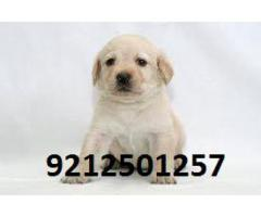 Family Dog ( LABRADOR ) Pups are very active for sale in Testify Pet Shop