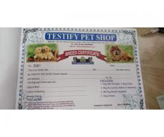 Top Line ( BEAGLE ) Pups For sale In Testify Pet Shop Pups are very Active