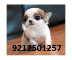 Tea Cup Chihuahua Pups for sale in Testify Pet Shop With Certificate
