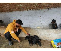 Doberman pischer male/female Puppies in Delhi/NCR