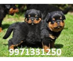 Guard Dog Rottweiler Pups For Sale in Testify Pet Shop