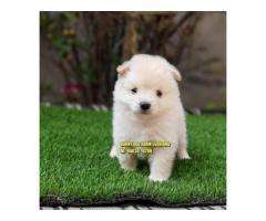 Quality Lover POMERANIAN Superb Quality Puppy in Ferozpur