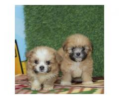 excellent quality Lhasa apso puppies available
