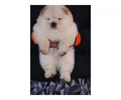 import bloodline chow chow puppies available
