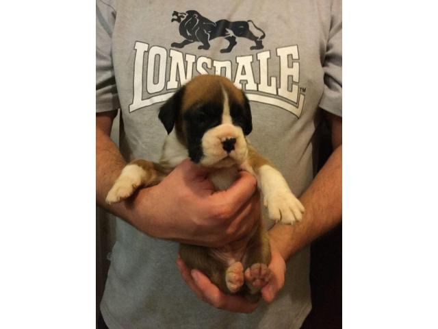 boxer puppies ready now for sale in delhi