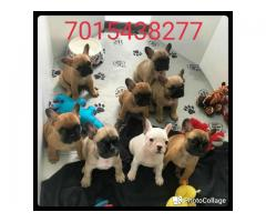 Show quality French bulldog pups available