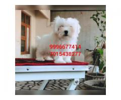 Show quality Maltese pup available