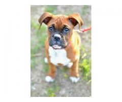 HEAVY BOXER PUP IN DELHI NCR DELIVERY AVAILABLE