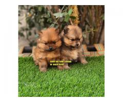 Toy Pom Pocket Size Puppies Are Available Here