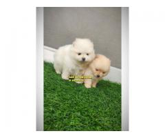 Toy Pom Outstanding Pupp Active Puppy