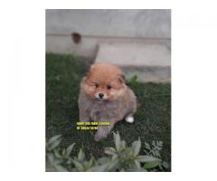 Toy Pom Outstanding Quality Available In Himchal Prasdesh