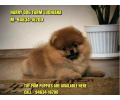 No 1 Quality Toy Pom Puppies In Jaipur