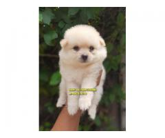Suprbb Quality Toy Pom Puppies In Punjab