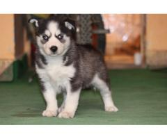 excellent quality Siberian husky black and white blue eyes puppies available