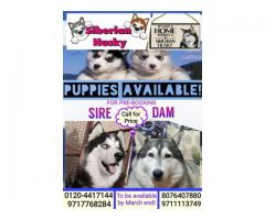 Siberian Husky puppies for Pre-Booking