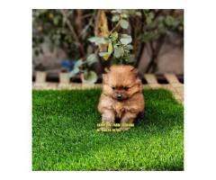 Outstanding Puppy Toy Pom In Raikot