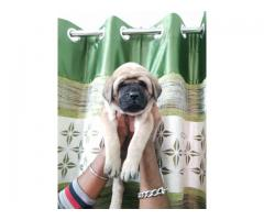 Top pedigree English mastiff pups
