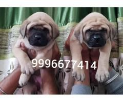 Huge Size English Mastiff puppy Available