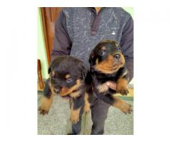 Rottweiler Pups For Sale Male Female Both Are Available  Call Me.. DogsFactory 9213919402