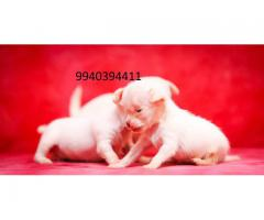 chihuahua Puppies for sale in chennai 9940394411