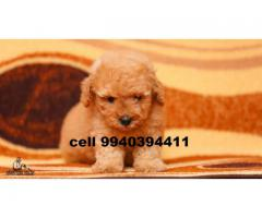 poodle puppies for sale in chennai 9940394411