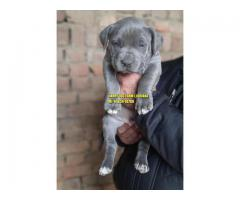 Import Line American Bully Puppies In Chandigarh India